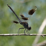 odonata