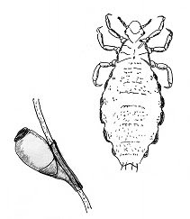 head lice and a nit attached to hair shaft