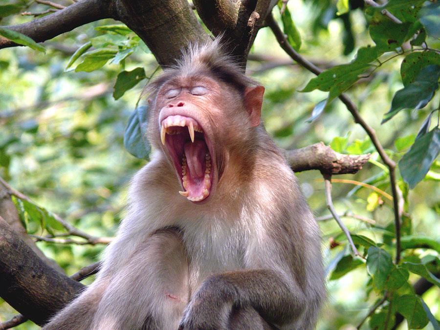 african animals of bonnet macaque habitat