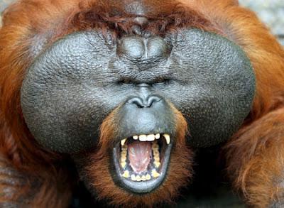 Orangutan ruse misleads predators   JAKARTA FORUM