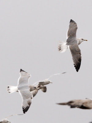 Adult Herring Gull showing medium width trailing white wing-edge and typical ...