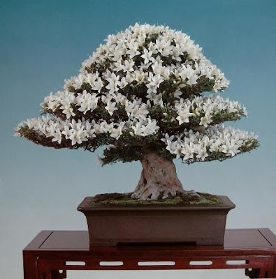 34 awesome bonsai tree types curious funny photos for Best bonsai tree species