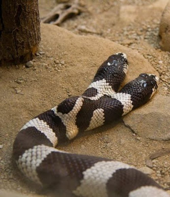 two headed snake