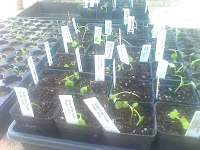 Collard seedlings, 14-days from sowing, potted up next to the Kilbourn grow lights