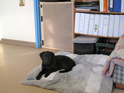 Romero, an eleven week old black lab puppy lies on a folded up comforter in a large office with white walls and beige tile floor. Behind him is a wooden bookshelf holding various large white binders and a carton containing dog toys. To the left is a blue doorway barricaded by a beige dog gate.