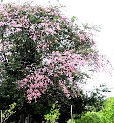Paineira florida - Jd Paulistano / SC
