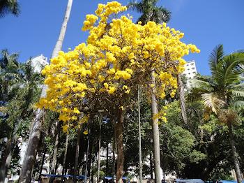 Ipê da Praça Tom Jobim