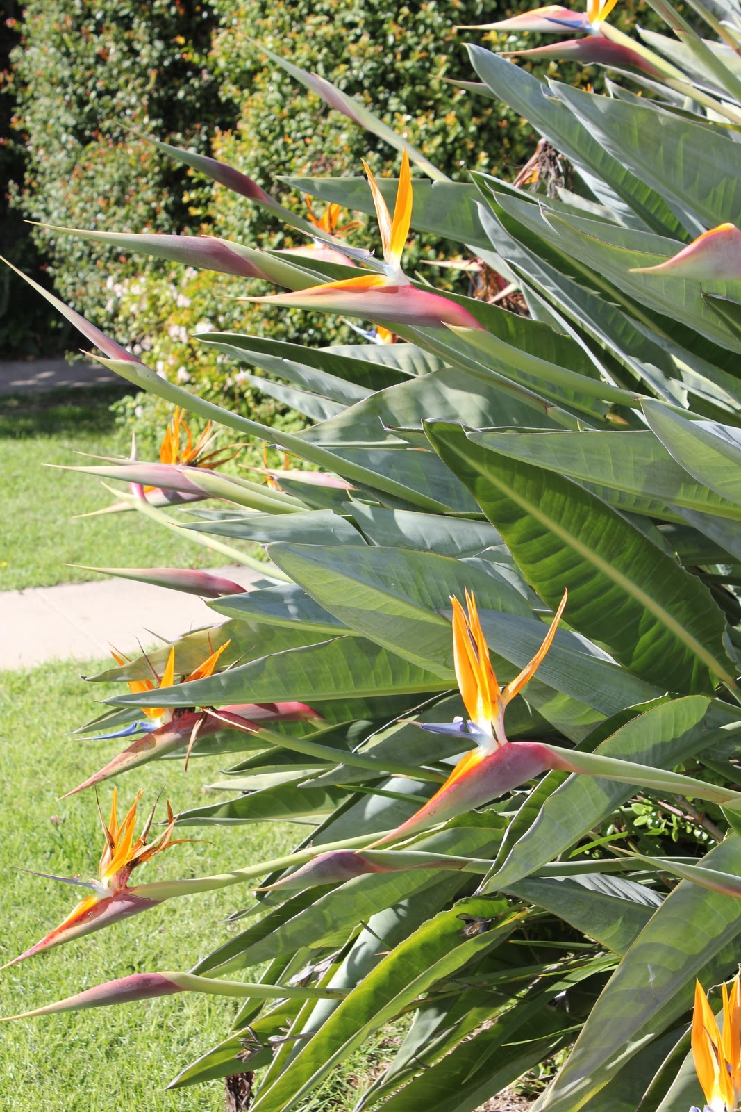 Can You See The Bee In Center Of Bird Paradise Flower