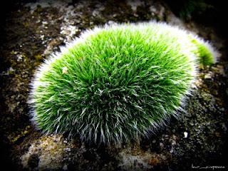 Muschiul de piatra-Stone moss