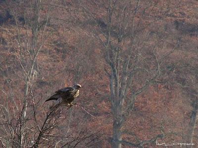 sorecar-comun-common buzzard