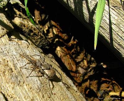 Paianjen Spider Αράχνη Araneae