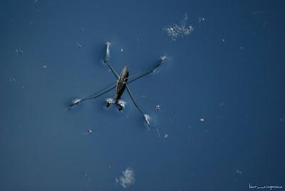 Paianjen de apa Water Strider