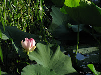 Flori de lotus Nelumbo nucifera Lotosblume