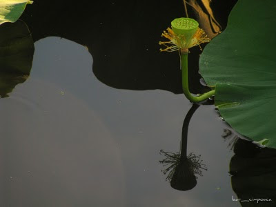 lotus fruit and reflection