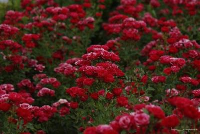 Marea Rosie Red Sea