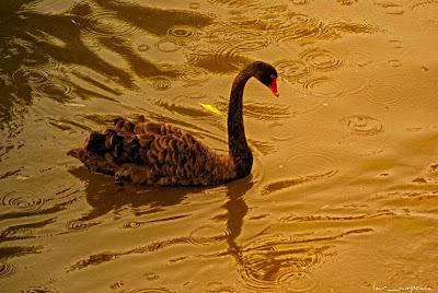 Lebada_neagra-Black_Swan-Cygnus_atratus