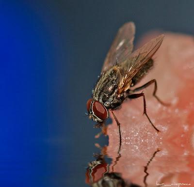 Musca-Fly-Zweiflügler-Diptera-Μύγα