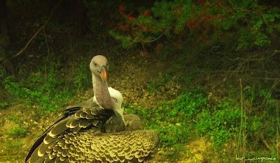 White-backed-VultureGyps-africanusBuitre-dorsiblanco africanoWeißrückengeierFamilia Accipitridae