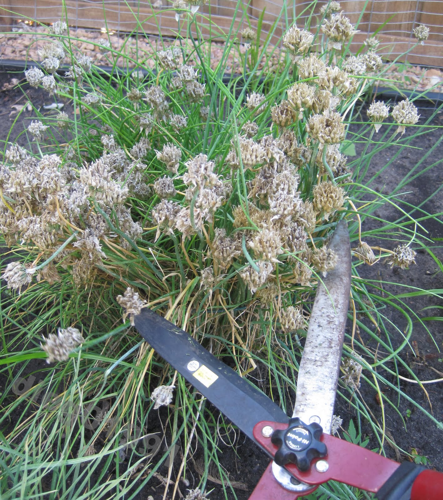 Time To Deadhead The Chives Get Busy Gardening