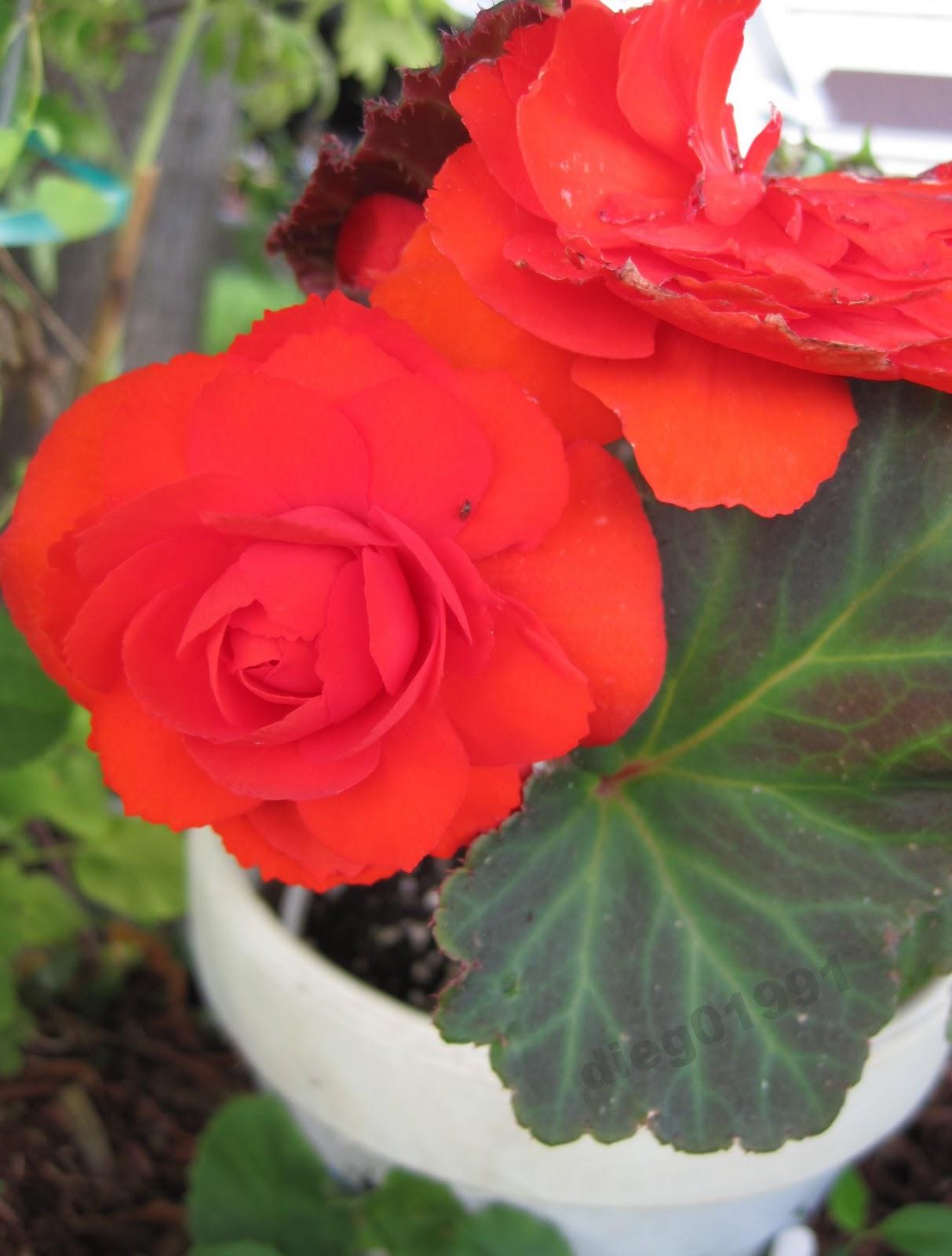 plant profile tuberous begonia