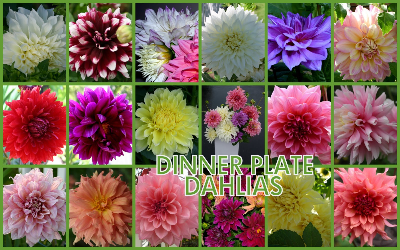 DINNER PLATE DAHLIAS