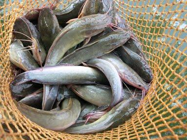 Peluang Usaha Bisnis Budidaya Ternak Ikan lele Dumbo Sangkuriang