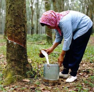 """panduan-budidaya-karet-pupuk-organik-nasa-natural-nusantara-poc-nasa-hormonik-supernasa-distributor-resmi-produk-nasa-inti-grow"""