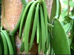 "panduan-budidaya-panili-natural-nusantara-produk-nasa-teknis-budidaya-pupuk-organik-nasa-poc-nasa-hormonik-supernasa-power-nutrition-cara-pemesanan-order"""