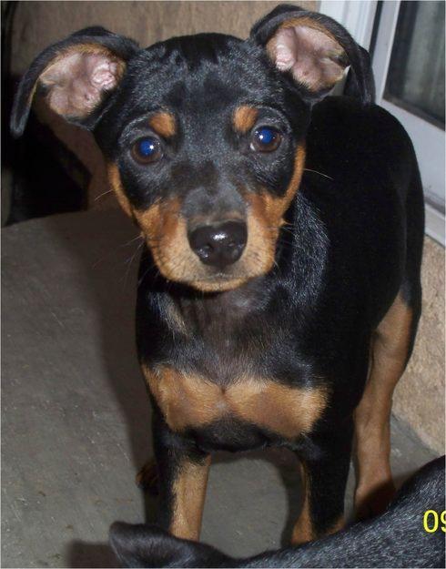 Miniature Doberman Pinscher | Top Dog Directory