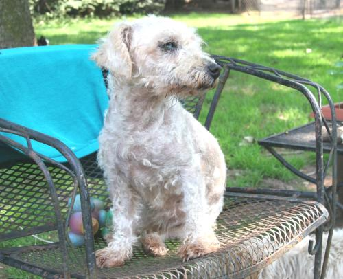 Bichon Frise Poodle Mix | Top Dog Directory