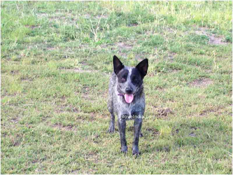 Australian Stumpy Tail Cattle Dog | Top Dog Directory