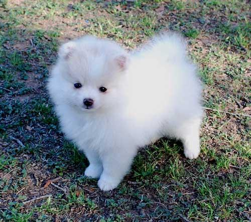 Cute Pomeranian Puppies | Top Dog Directory