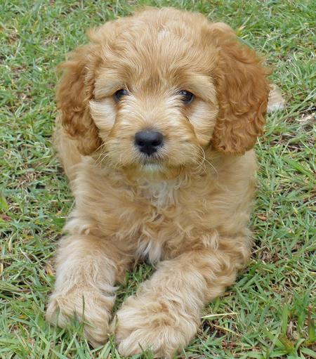 Havanese Poodle Mix | Top Dog Directory