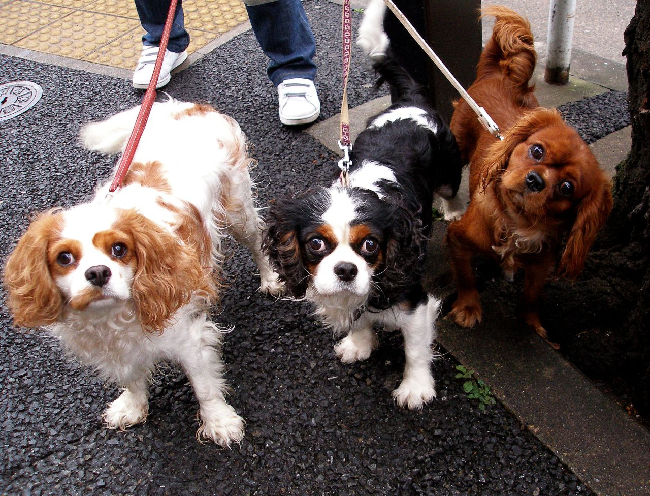 Cavalier king charles top dog breeds top dog directory for Best dogs for you