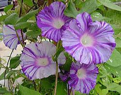 Flor de asagao