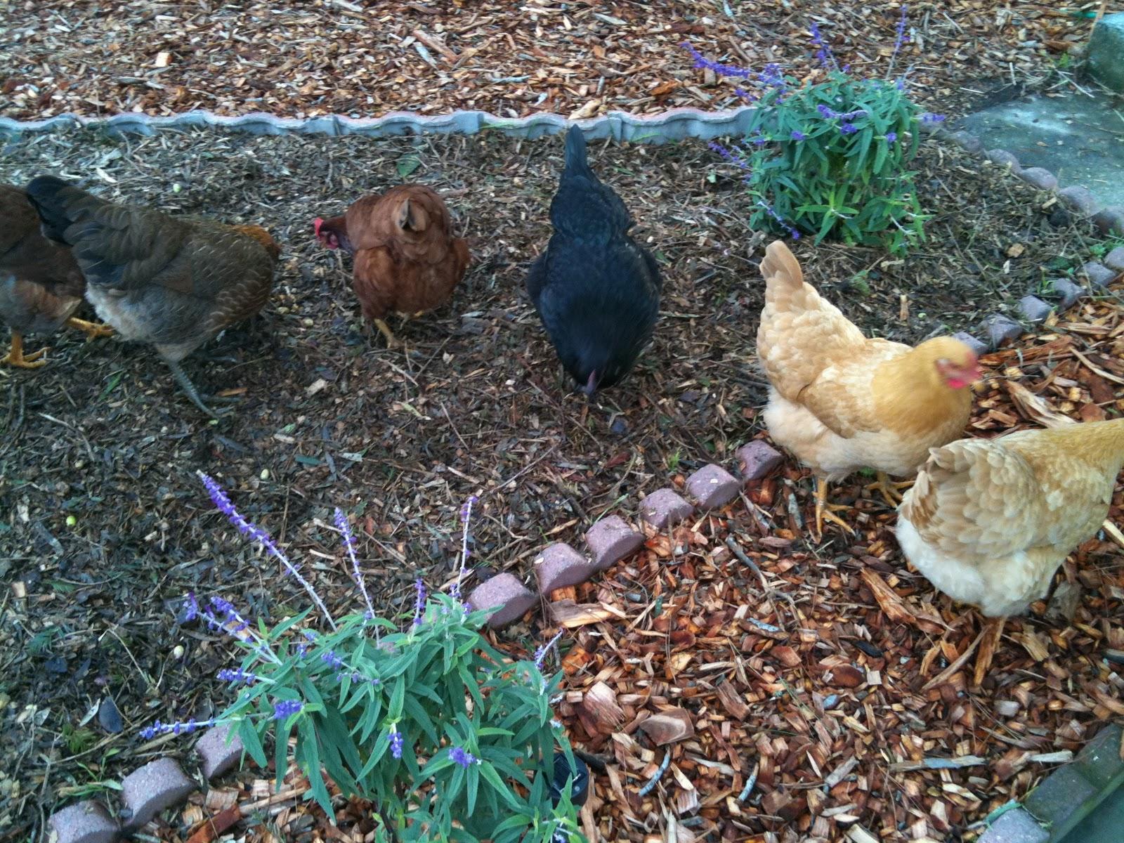 soul flower farm chickens