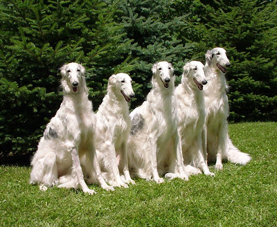 Five adult Borzoi dogs sitting in the park, Intelligent dogs