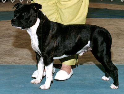 DOGS AND CATS BREED: STAFFORDSHIRE BULL TERRIER Dogs and