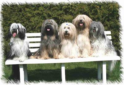 Tibetan Terrier Dogs