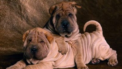 cute Shar Pei puppies