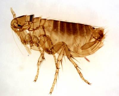 flea-1.jpg