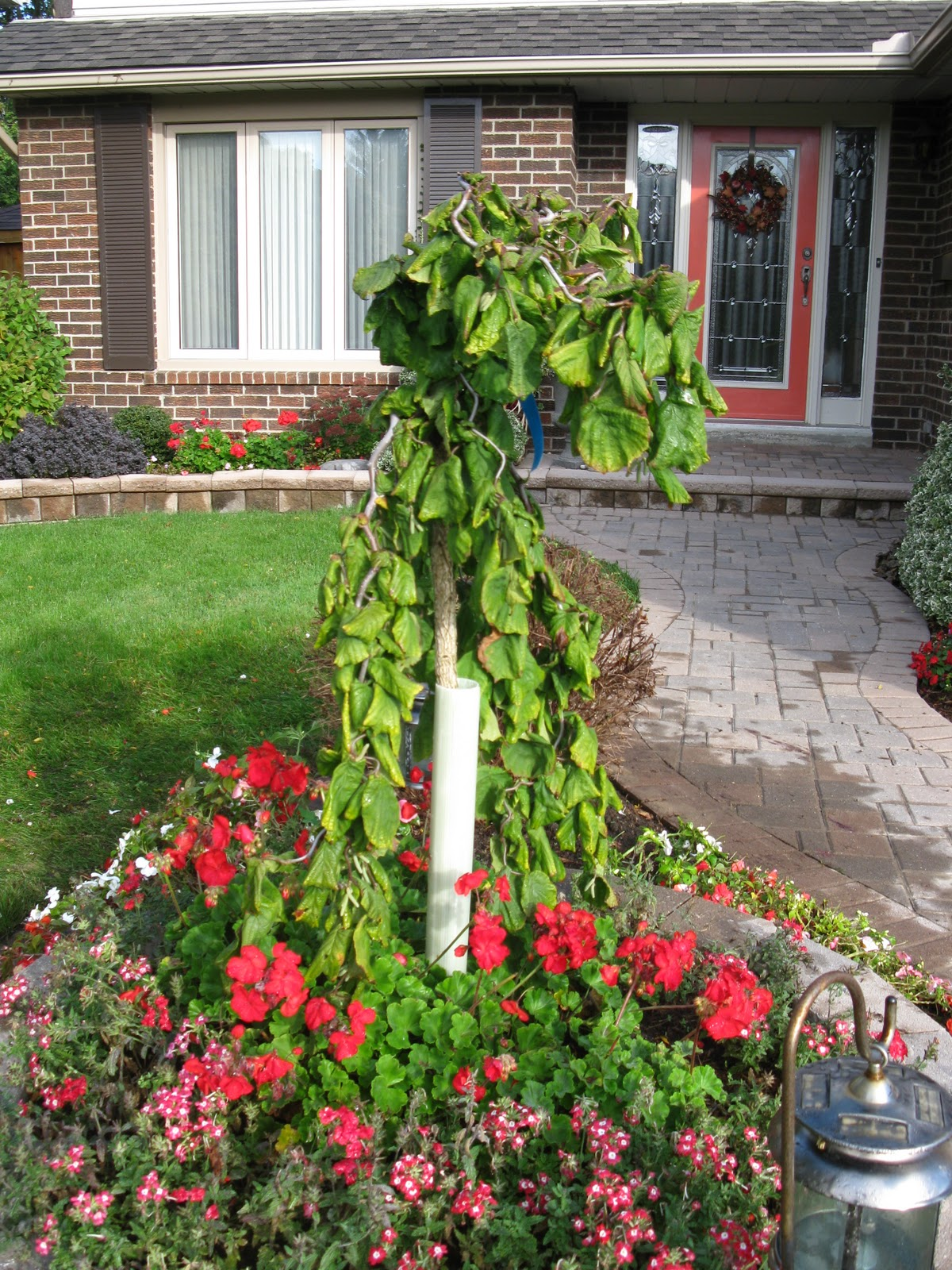 Harry lauder walking stick trees - Photo By White Swan Properties This Second Photo Of A Harry Lauder S Walking Stick
