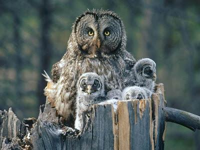 ما سبب التشائم من طائر البوم?! Owl+mother