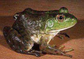gambar katak hijau