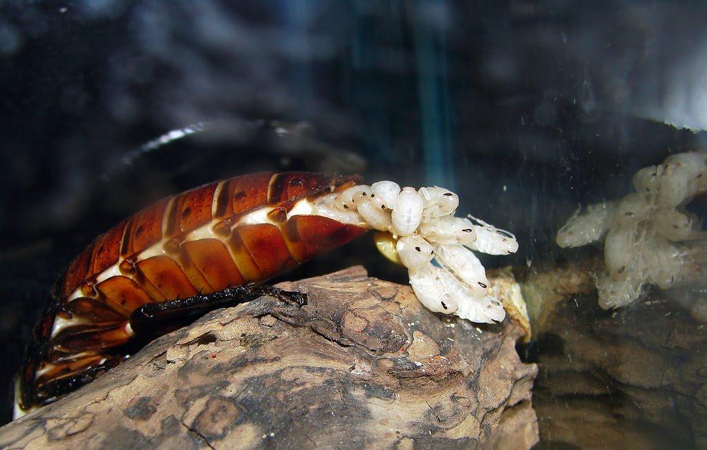 Фото тараканов как они размножаются