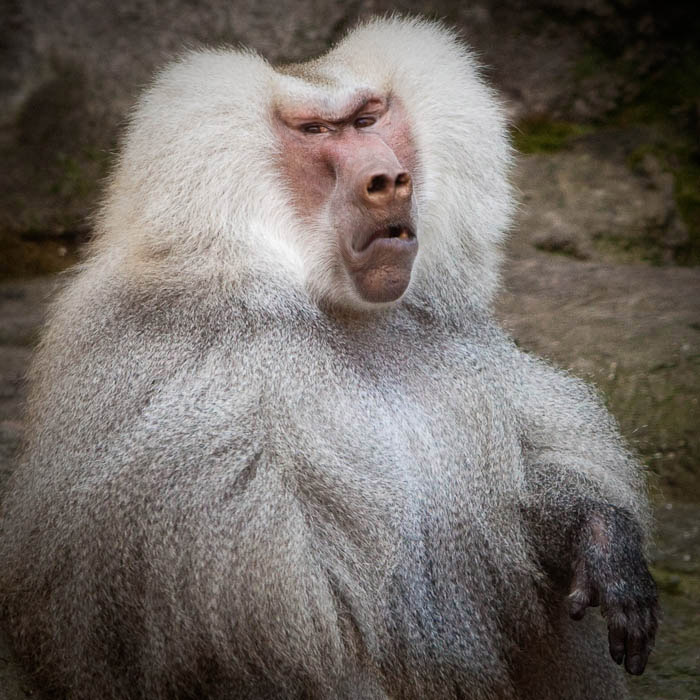 gallery for gt ugly baboons
