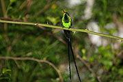 El Colibrí Portacintas o doctor bird (Trochilus polytmus) es el ave nacional de Jamaica.