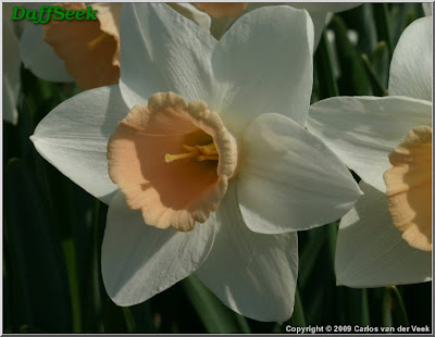 A passion for Narcissus 'Passionale'