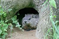 groundhog photo by Jacob Dingel