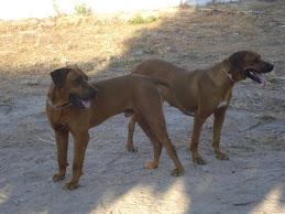 Cães do criador Pedro Filipe